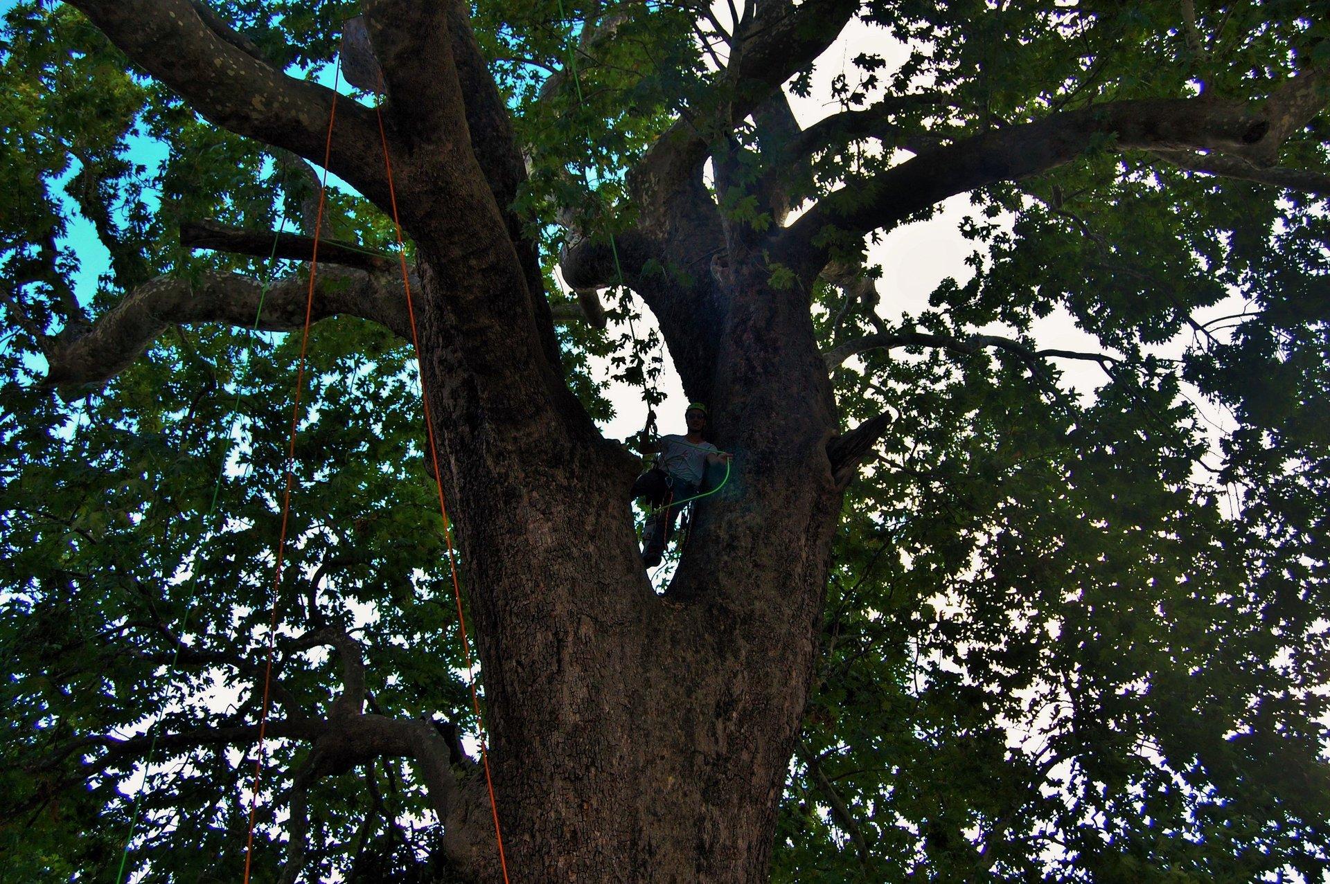 operaio si arrampica su un albero per effettuare la potatura
