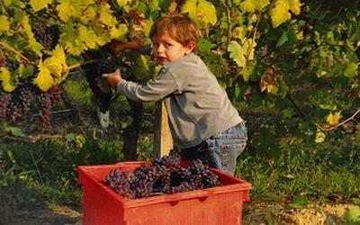 Uva rossa vino