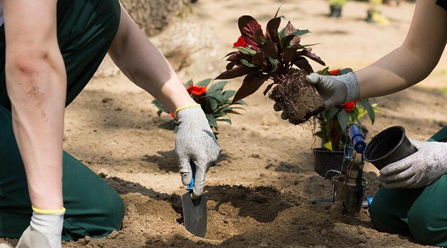 due persone travasano delle piante dal vaso alla terra