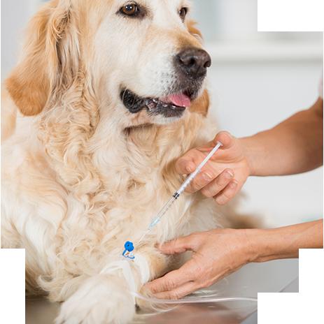veterinario esegue iniezione a cane