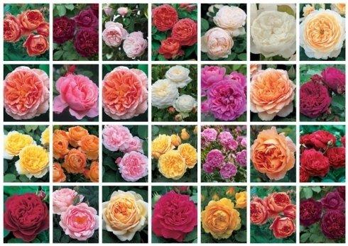 Collezione David Austin Roses presenti in Vivaio