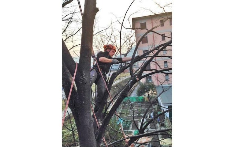 Potatura tree climbing Vivai Giumelli