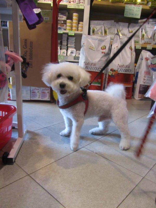 un cagnolino bianco di razza Bolognese