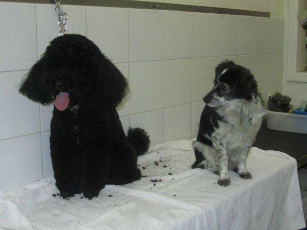 un barboncino nero e un cagnolino bianco e nero che lo guarda