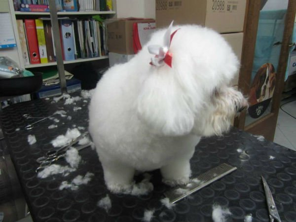 un cagnolino bianco di razza maltese