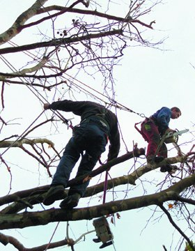 tree surgeons - Romford - GKS Tree Care - Removing Branches