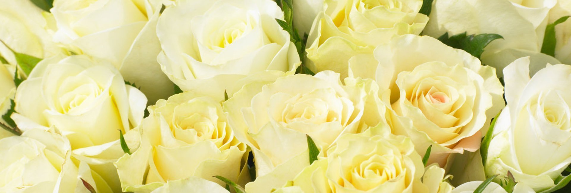 Pastel Yellow Roses
