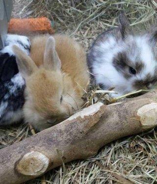 cavie e conigli