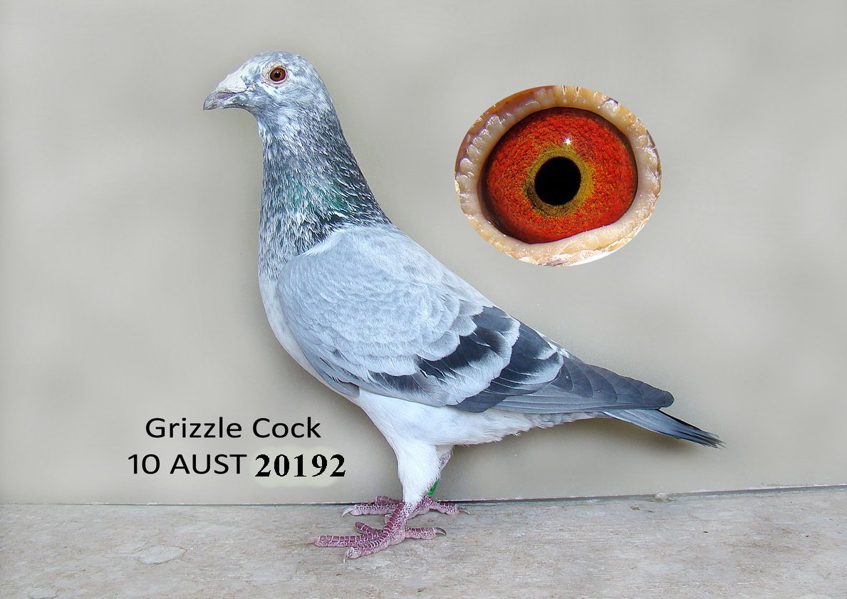 White Grizzle Racing Pigeons – images free download - Taiwan Racing
