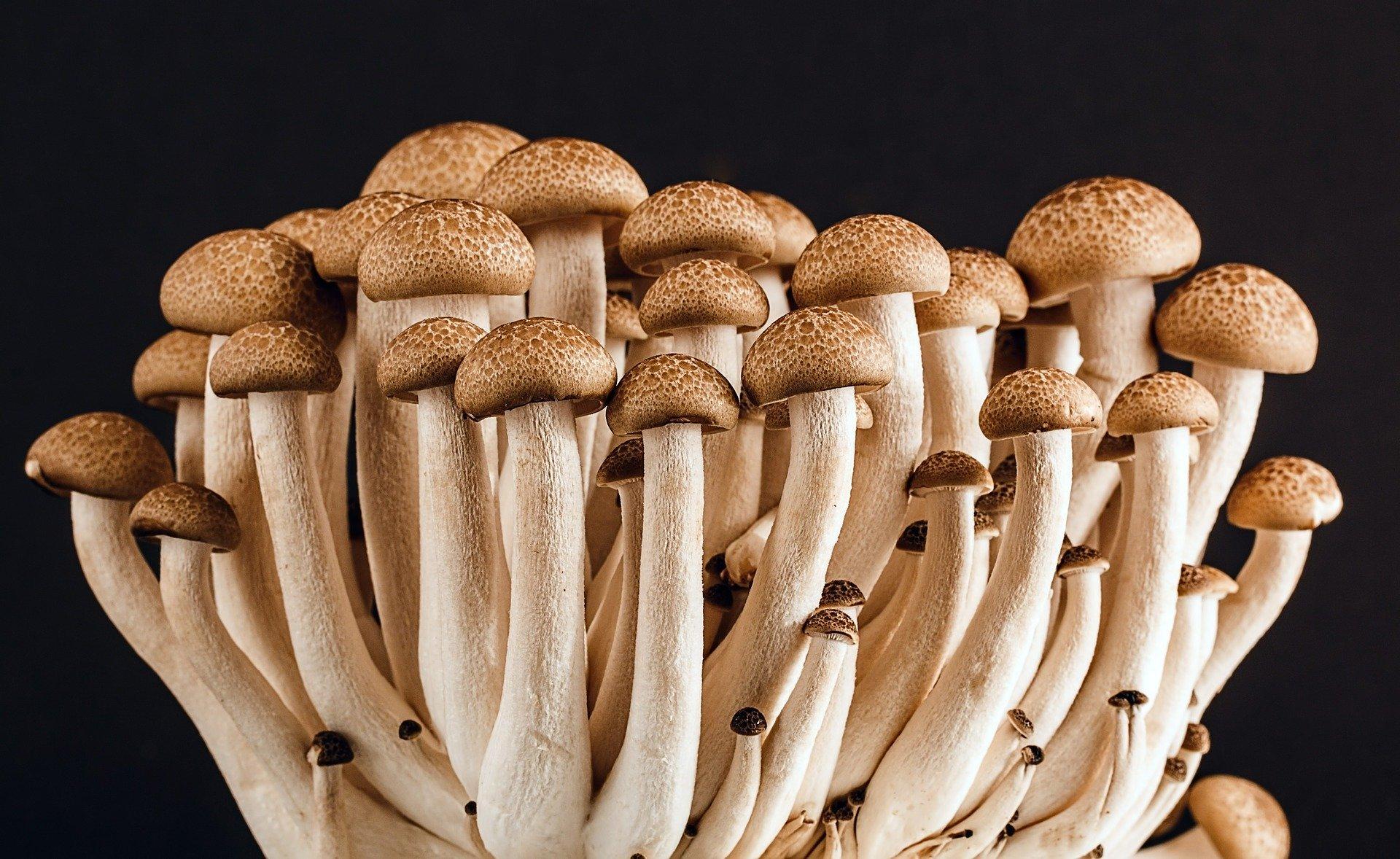 Poria Incrassata A House Eating Fungus