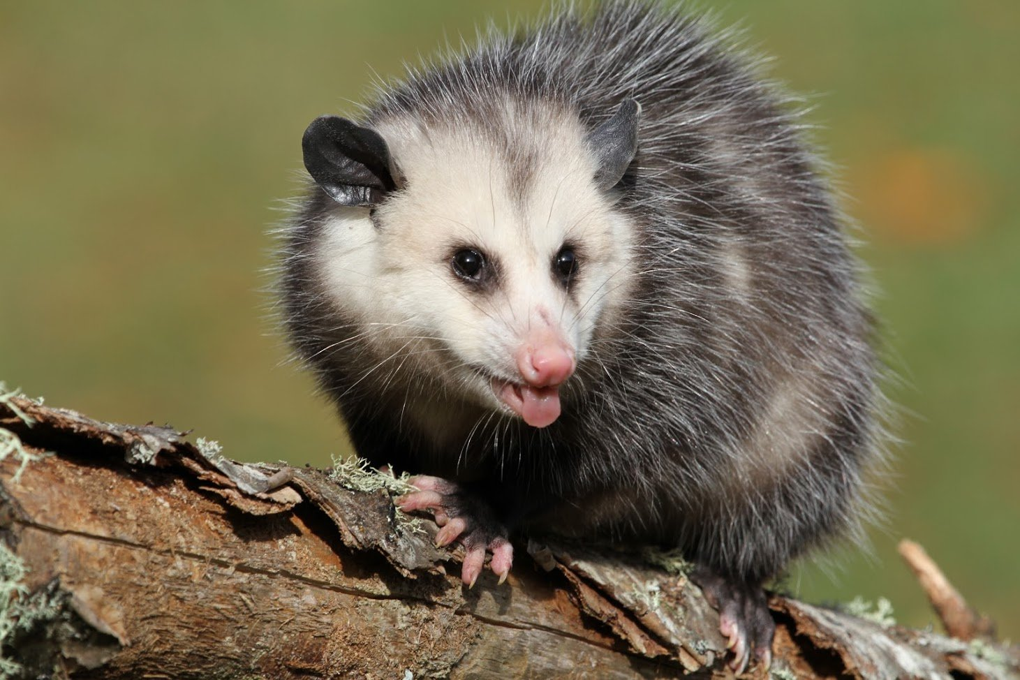 Possums in Your Roof? What You Need to Know About Removal, Repair