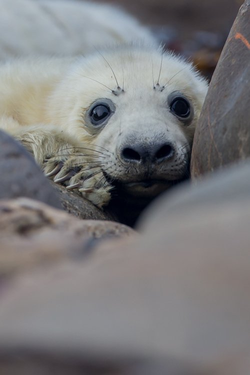 grey seal pup photography  wildlife photography workshop