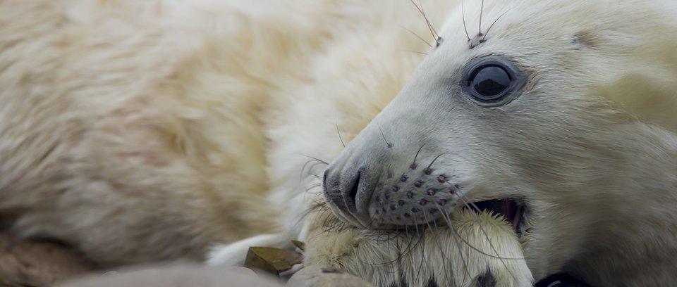 grey seal pup wildlife photography workshop