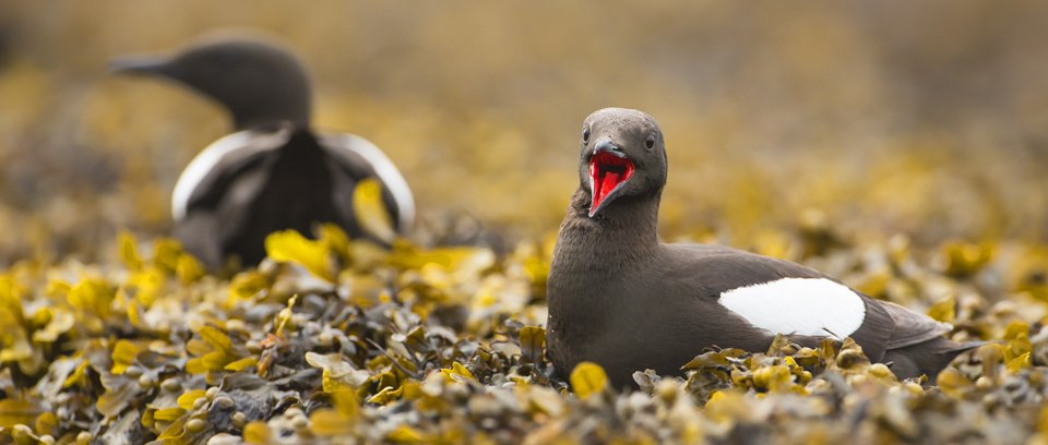 Black Guillemot wildlife photography workshop