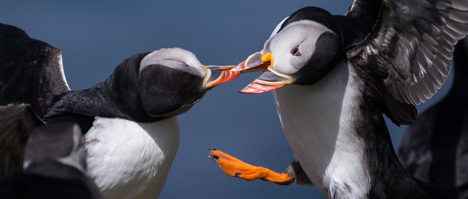 puffin wildlife photography workshop