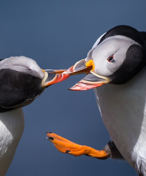 Puffin photography tour