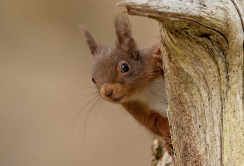 Red Squirrel photography tour