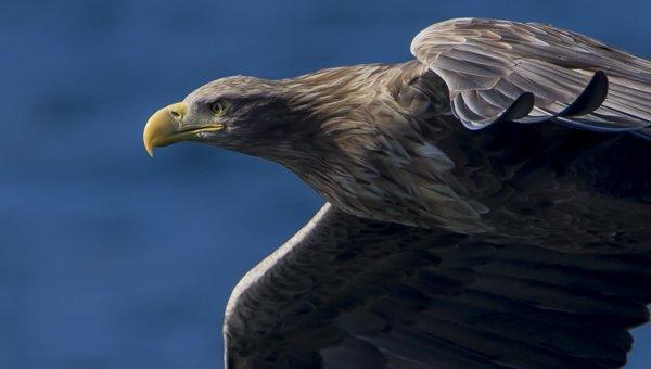 White-tailed eagle photography tour