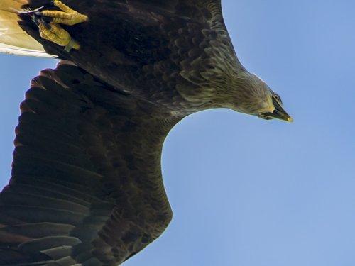 Sea Eagle and White-tailed Eagle photography tour