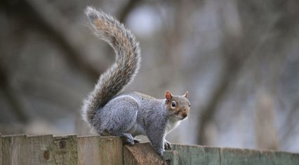 Grey squirrel infestations