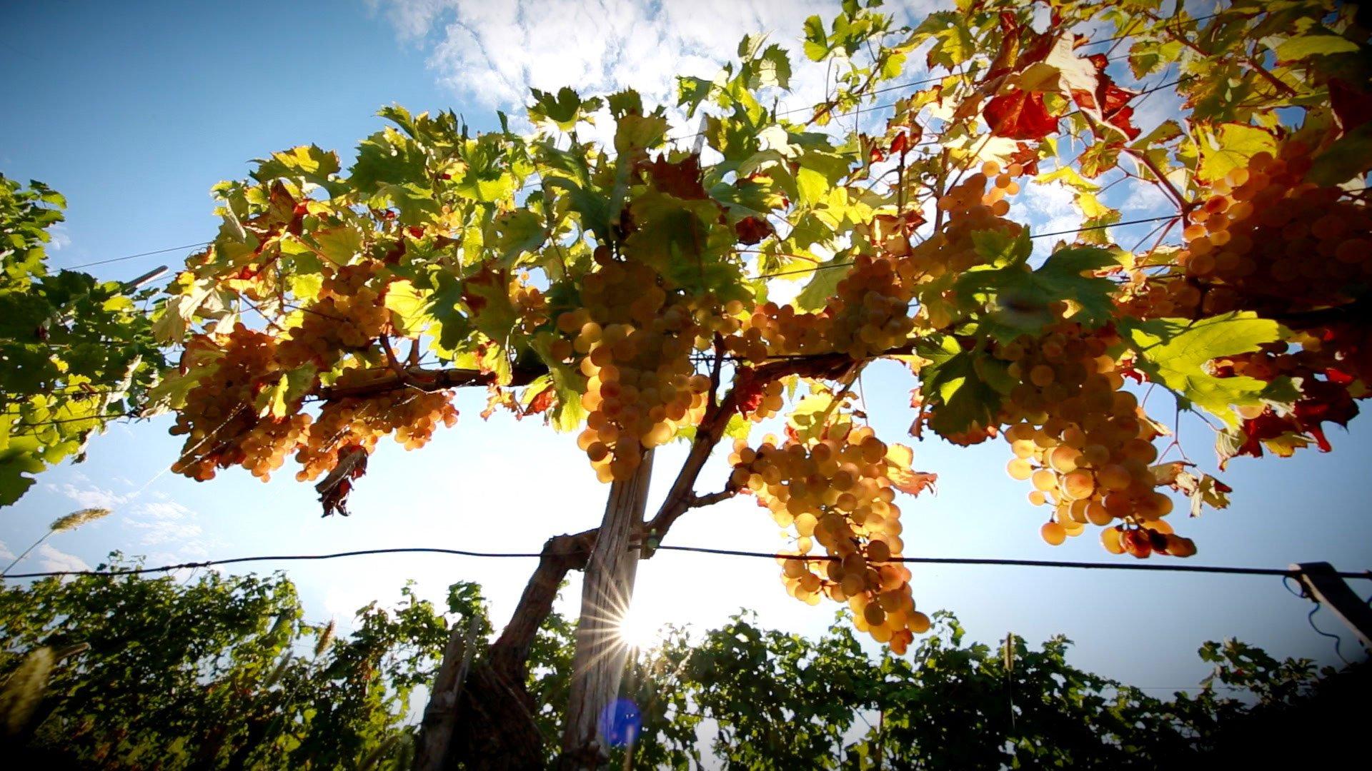 Produzione uva a Magra