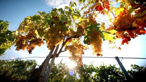 Uva al sole