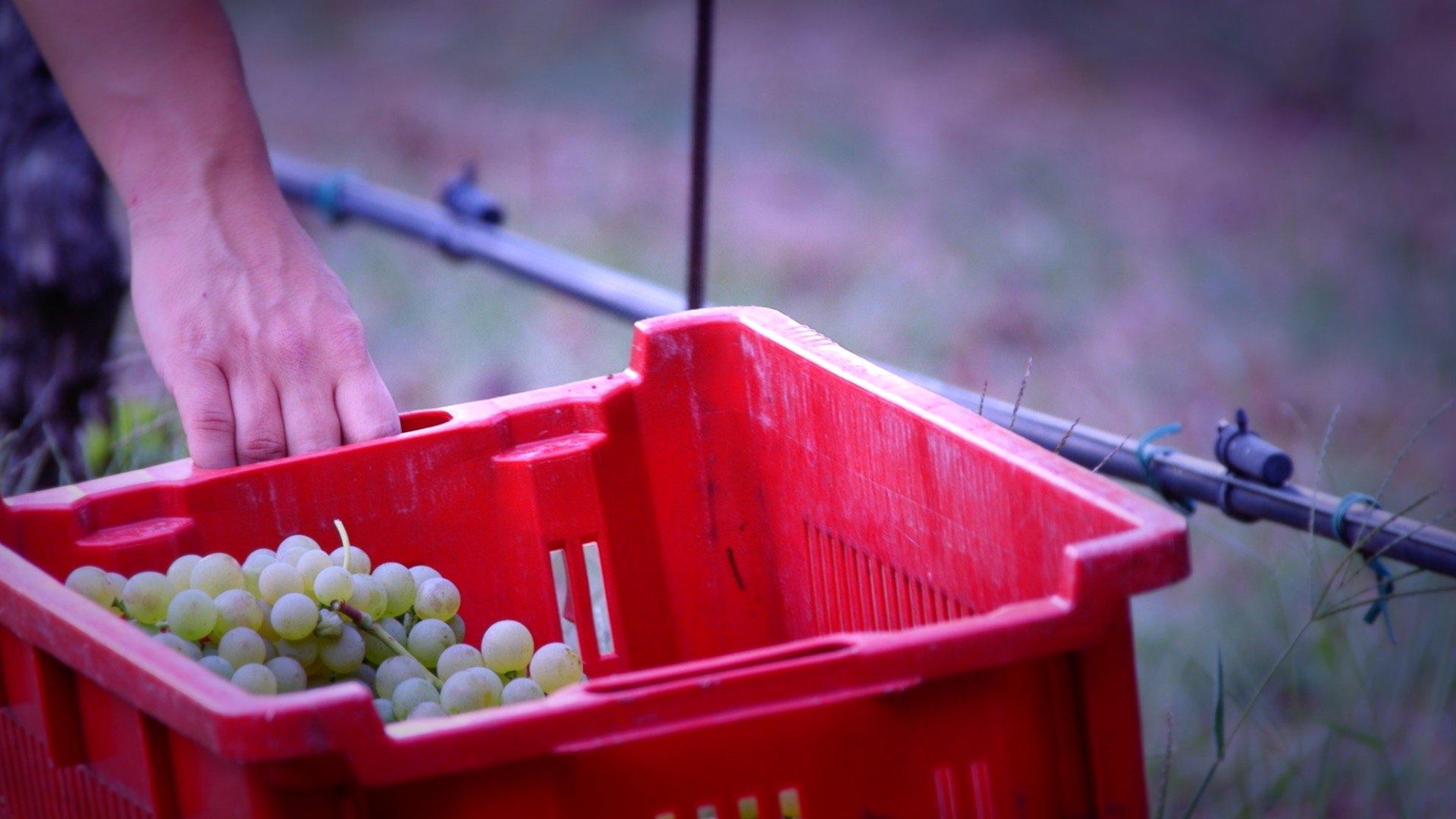 Cesta di uva