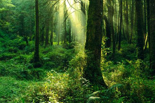 Foresta verdeggiante dove arrivano i raggi del sole