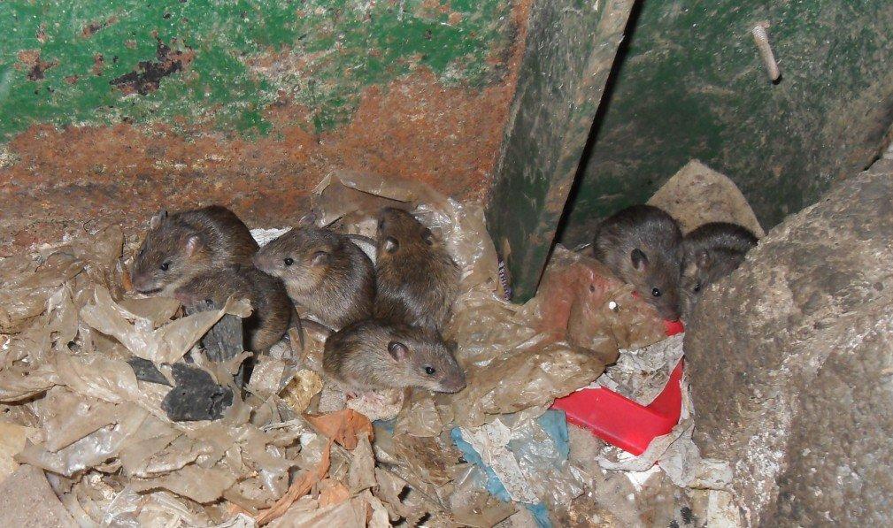 Loft clearances - Rats in the loft