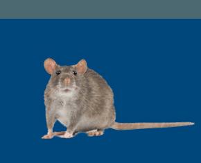 Rat control services