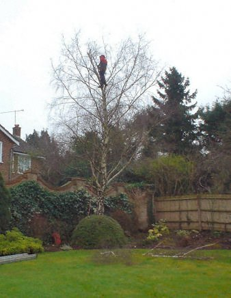Branch thinning - Kingston - Roots & Shoots - Reducing a birch tree