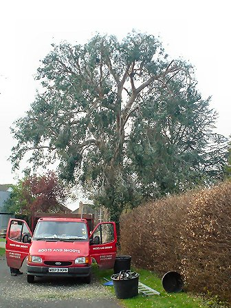 Tree pruning - London - Roots & Shoots - Eucalyptus tree reduced in Clandon