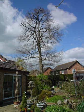 Branch thinning - Swindon - Roots & Shoots - Oak re-shaped and cut back from a house in Cranleigh