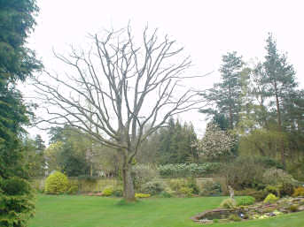 Reduction - Reigate - Roots & Shoots - red oak reduced in Thursley