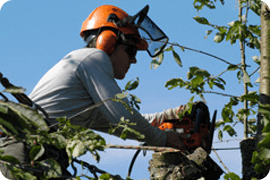Tree pruning - London - Roots & Shoots - Tree Surgeon