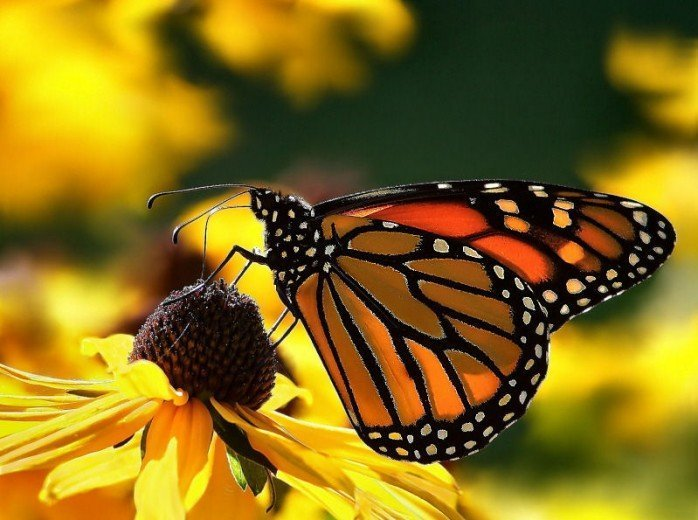 since the monarch butterfly population has dropped over 80 monarch butterflies are the only kind of butterflies who migrate