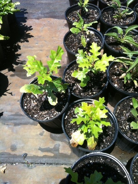 TX Red Oak Seedlings