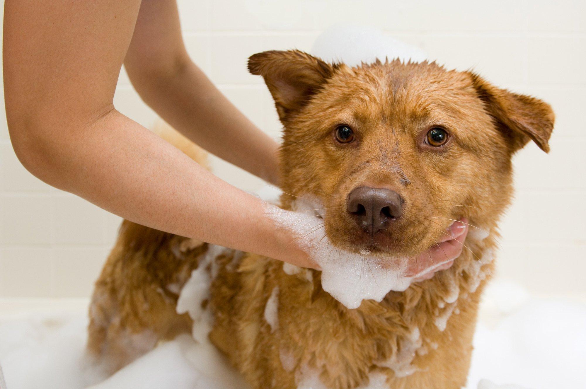 Bagno antiparassitario al cane a Cavaglià