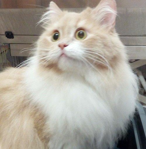 un gatto Persiano