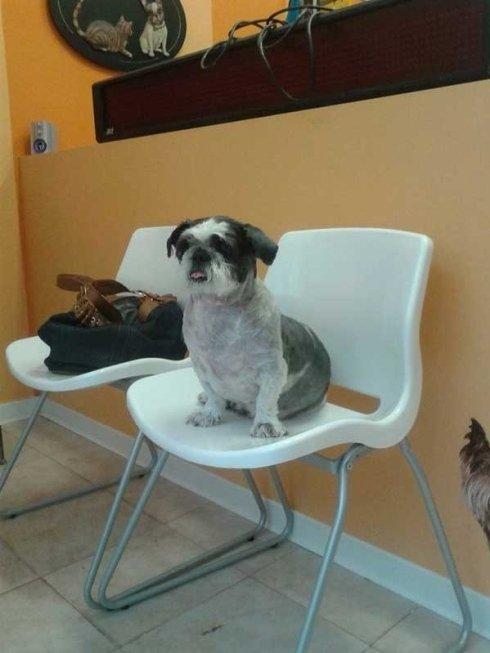 un cagnolino bianco e nero seduto su una sedia