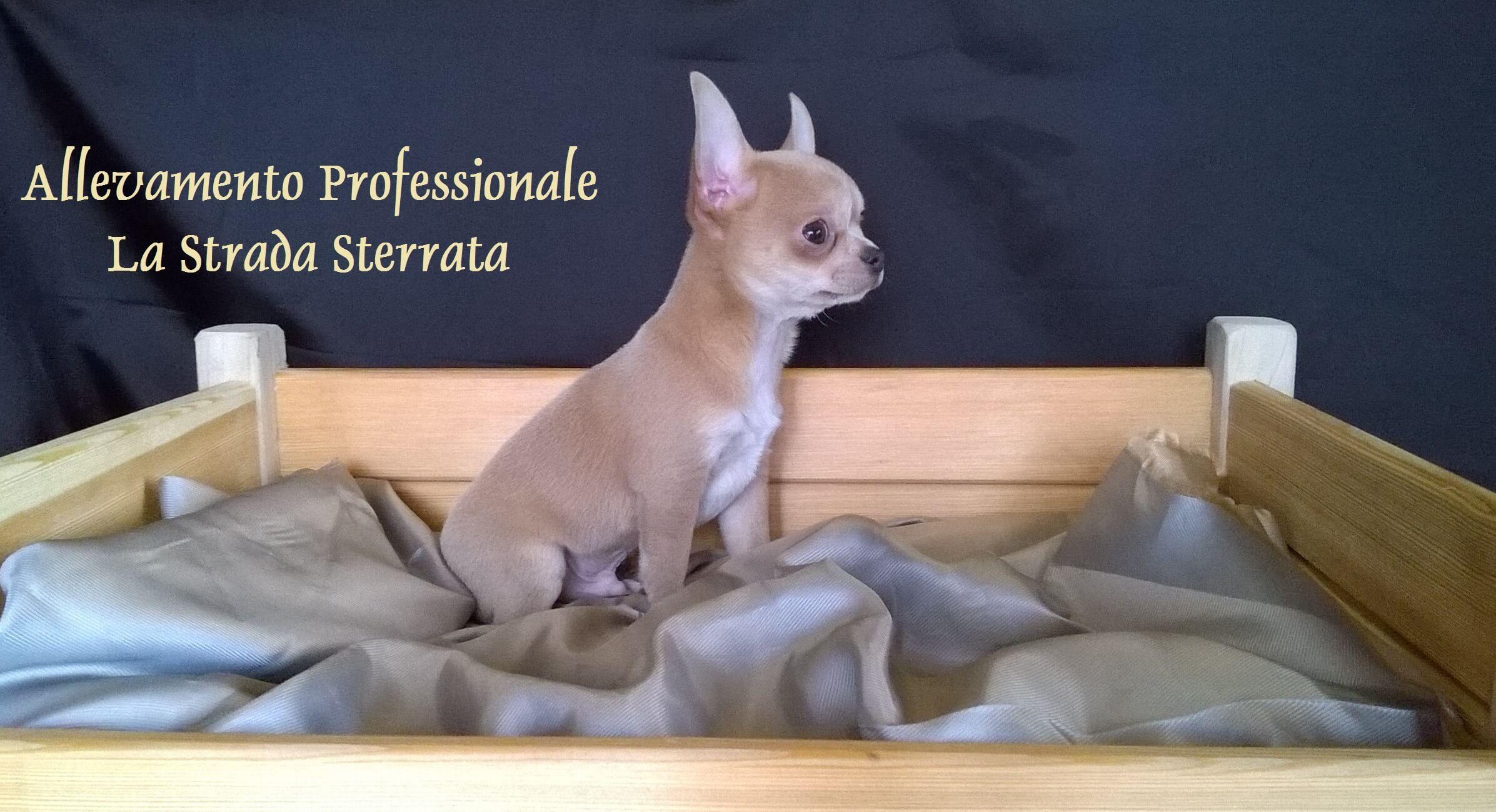 Chihuahua seduto su una coperta di stoffa