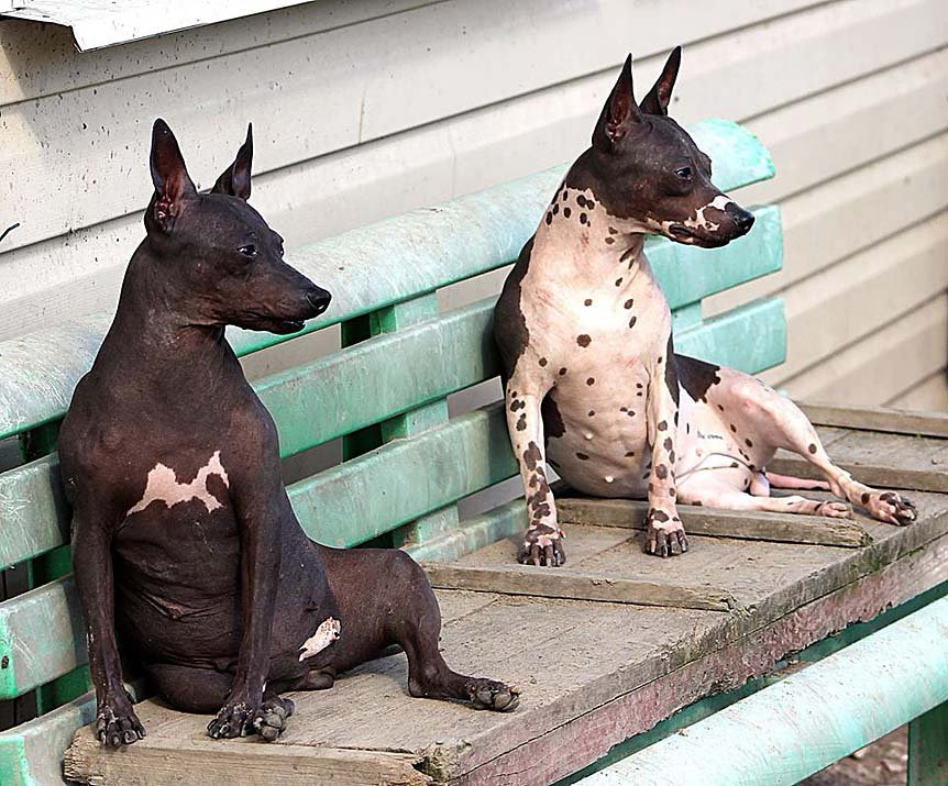 Allevamento di hairless terrier a Badia Pavese