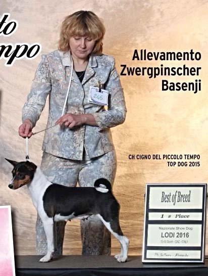 Cane Basenji a una mostra canina a Badia Pavese