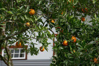 Fruits hanging from a tree