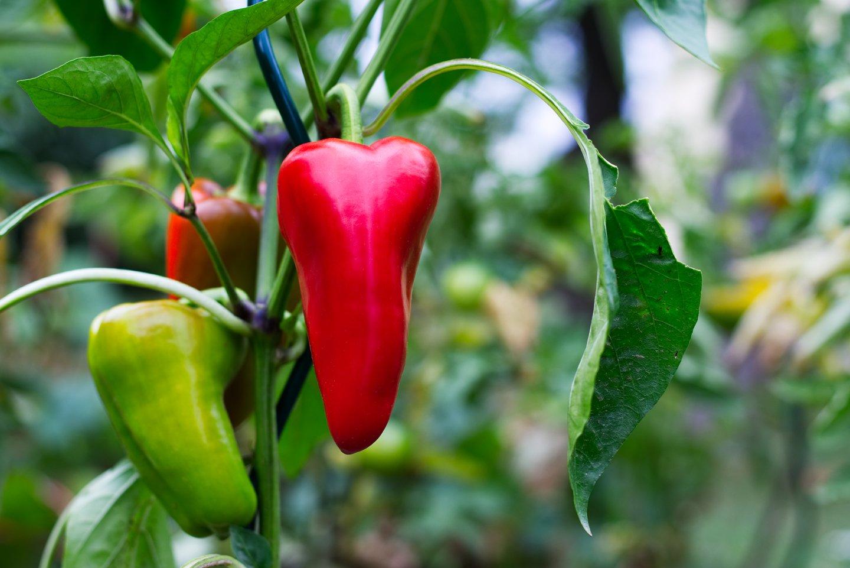 pianta di peperoni