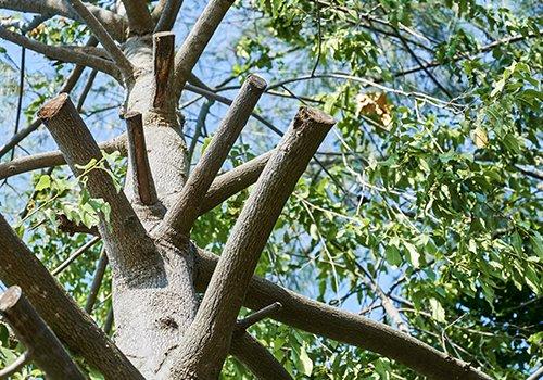 Albero con le branche tagliate