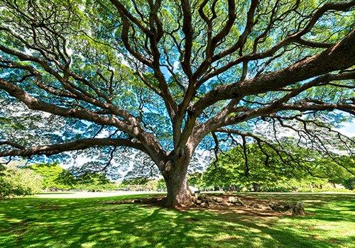 Grande albero con immense rami e buona ombra