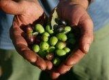 Produzione olio extra vergine di oliva