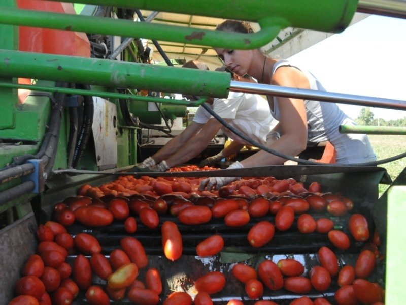production of tomato sauces