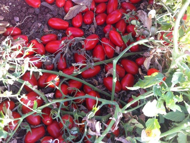 Sardinian tomato growers